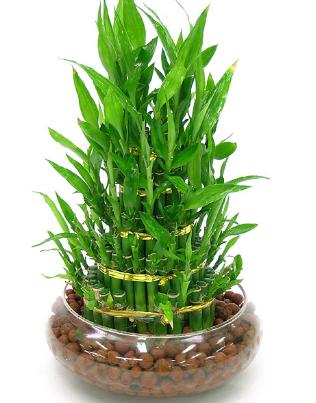 过年家里要放什么盆栽?